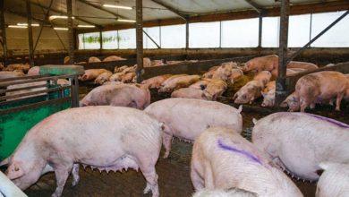 Photo of Porc : Sept courbes alimentaires pour un troupeau homogène