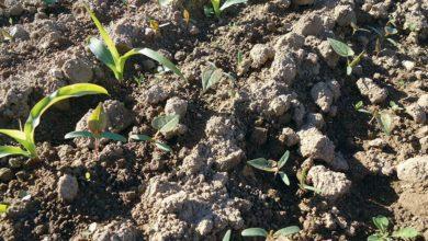 Photo of Herbicide maïs : Pas de nouveautés mais des restrictions