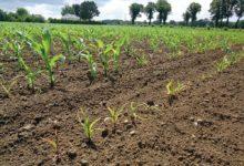 Photo of Protection du maïs contre les taupins : quels choix techniques ?