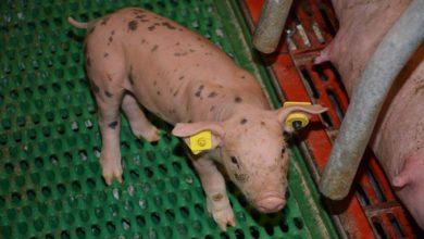 Photo of Porc : Le coronavirus, une piqûre de rappel