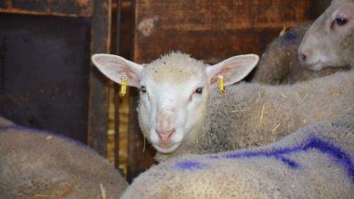 Photo of Branle-bas de combat dans la filière ovine