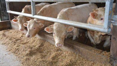Photo of Difficultés en vaches laitières et jeunes bovins
