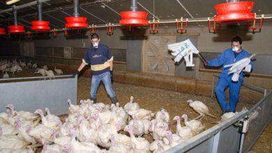Photo of Les entreprises de ramassage de volailles sur le pont