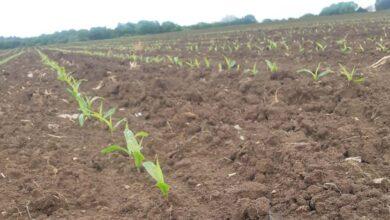 Photo of Semis de maïs : La pluie a freiné les chantiers