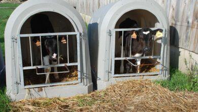Photo of Le veau laitier toujours en plein marasme