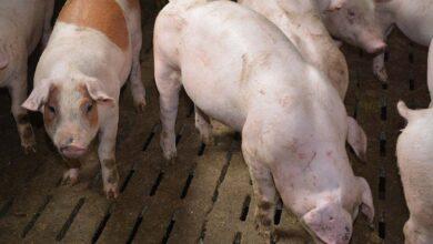 Photo of Le cours du porc sous pression