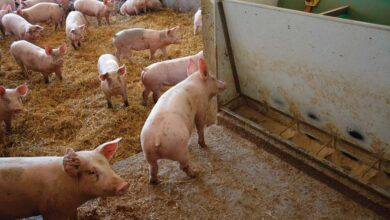 Photo of Viande de porc : Les nombreuses allégations représentent peu de volume
