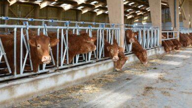 Photo of En viande bovine, un temps de travail très variable selon les exploitations