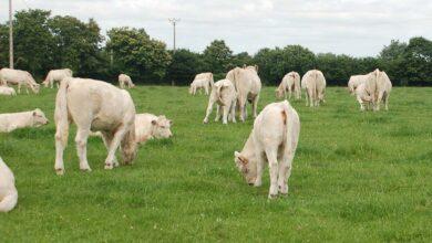 Photo of Les Européens développent le commerce du bovin vif