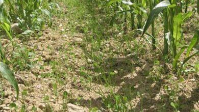 Photo of Sous-semis de couvert en maïs