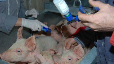 Photo of Un vaccin injectable contre l'iléite porcine