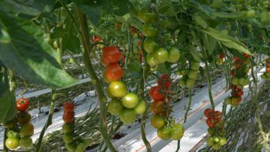 Photo of Des tomates Solarenn de plus en plus « vertes »