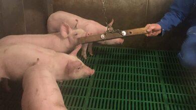 Photo of Des matériaux attractifs pour les porcs à tous les stades