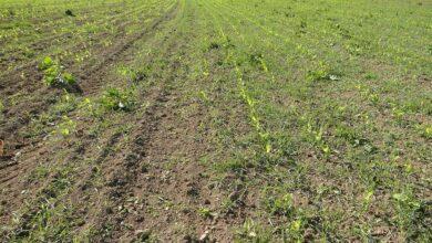 Photo of Maïs : Les plantes-appâts efficaces contre les corvidés ?