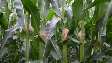 Photo of Floraison précoce du maïs : Un début de cycle plutôt chaud