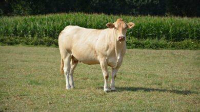 Photo of Les vaches conformées s'en sortent bien