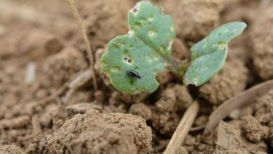 Photo of Un risque accru en cas de semis précoce du colza