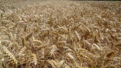 Photo of Votre variété de blé d'un seul coup d'œil