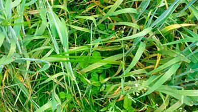 Photo of Prairie sous couvert de méteil