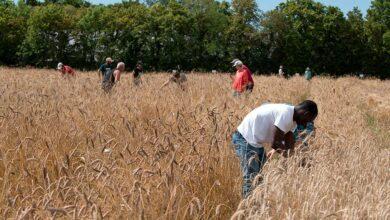 Photo of Moissonner les blés paysans