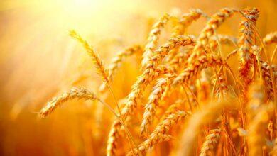 Photo of Des prix haussiers en blé malgré la récession mondiale