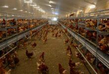 Photo of Pondeuses : L'élevage en volière se développe