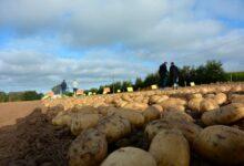 Photo of Des plans incertains pour la pomme de terre