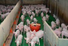 Photo of Porc : Un tiers de l'export allemand affecté