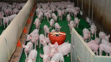 Photo of Porc : Un tiers de l'export allemand affecté