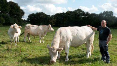 Photo of Demain, des vaches avec du gabarit, du lait et sans cornes