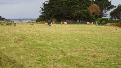 Photo of Des vaches à Bréhat