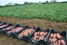 Photo of Patate douce : Gagner en production et en conservation