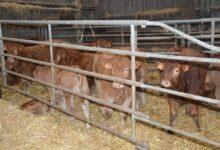 Photo of Bovin viande : Plus de performance dans les élevages limitant les tétées