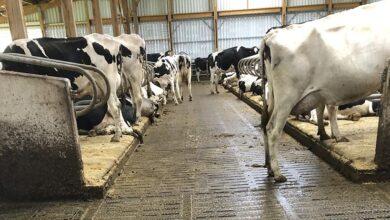 Photo of Stabulation sur caillebotis: moins de dermatites, moins d'accidents, plus de confort, plus de lait!