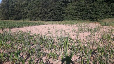 Photo of Corvidés et maïs : quelle stratégie pour 2021 ?