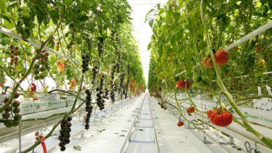 Photo of Tomato Vision : Produire les hybrides de demain