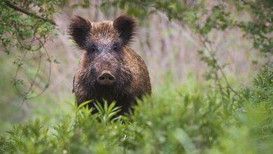 Photo of Des actions de chasse autorisées  pour réguler les nuisibles