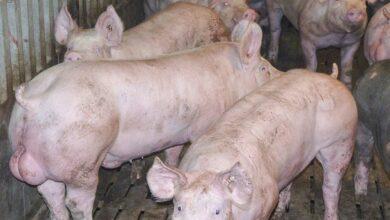 Photo of Porc : Le mâle entier a ses défenseurs