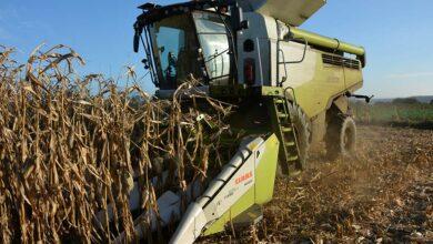 Photo of Maïs grain : Une bonne année de récolte
