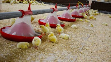 Photo of Aviculture : Favoriser les coccidies vaccinales