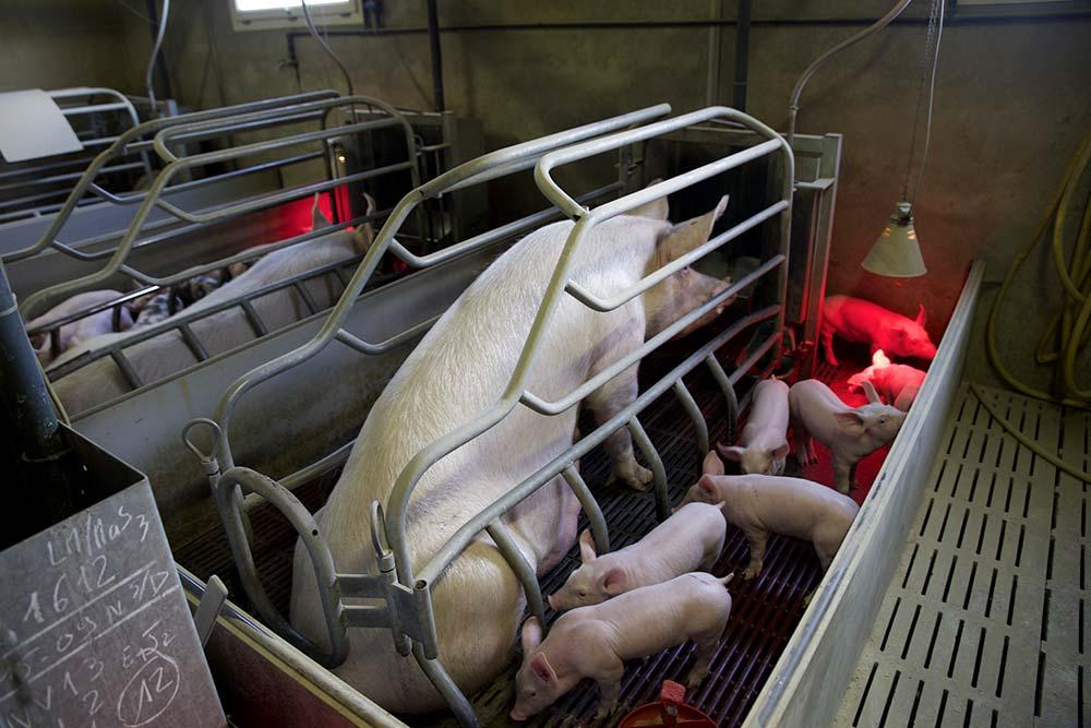 earlbouexiere porc truie maternité
